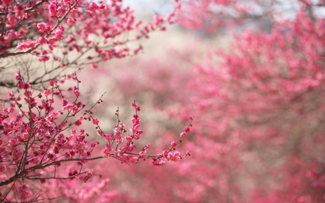 cherry-blossom-tree-wallpaper-4